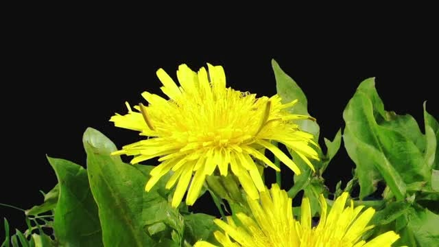 Dandelion Buds Opening And Blooming: Stock Video