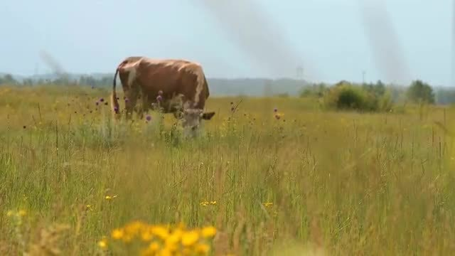 Cow Feeding On Green Pasture: Stock Video