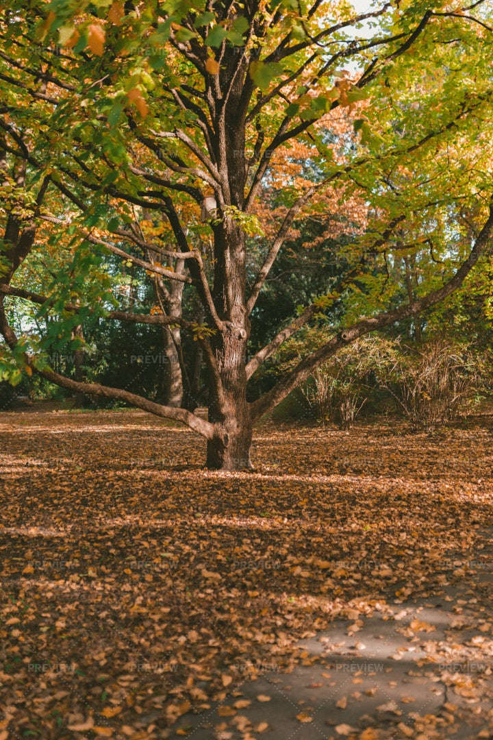 Autumn Tree: Stock Photos