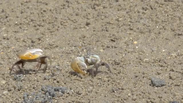 Fighting Fiddler Crabs: Stock Video