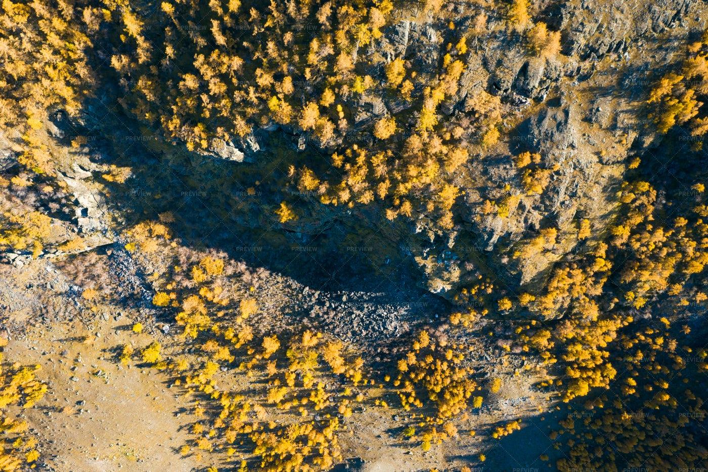 Sunny Yellow Larches: Stock Photos