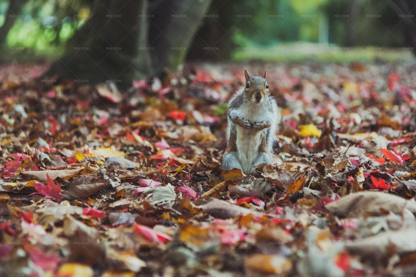 Squirrel & Autumn Leaves: Stock Photos