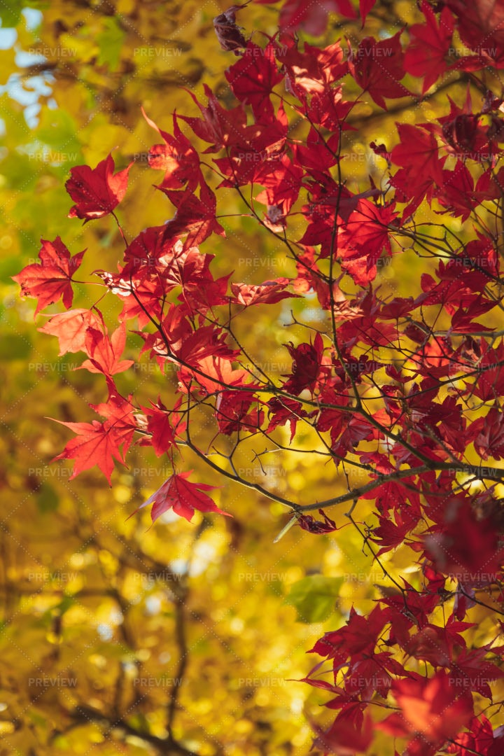 Red & Gold Autumn Leaves: Stock Photos