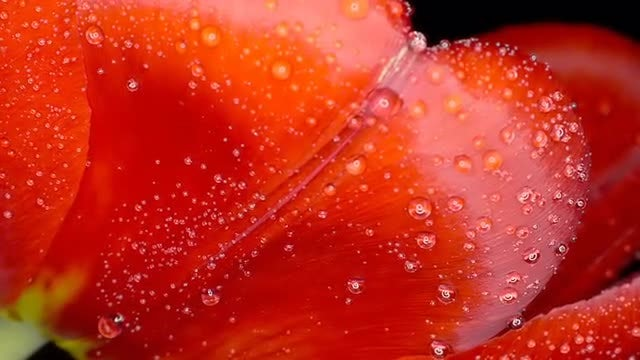 Red Tulip: Stock Video