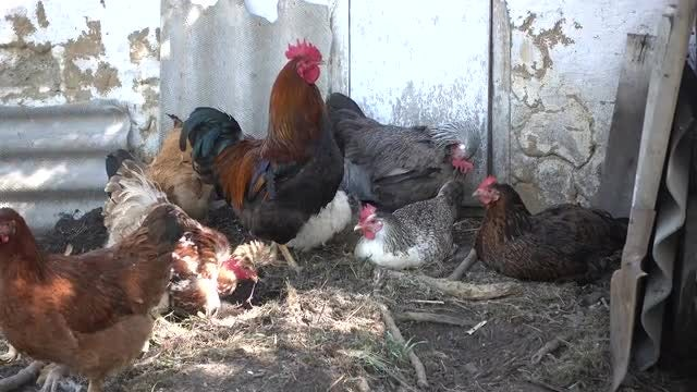 Rooster And Hens Relaxing: Stock Video