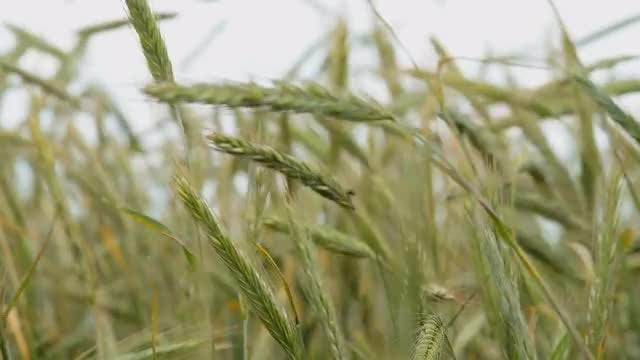 Green Wheat Ears In The Wind: Stock Video