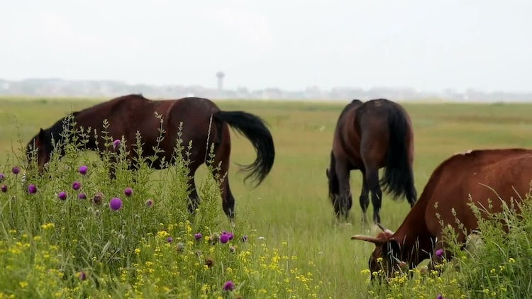 Horses And A Cow Grazing : Stock Video