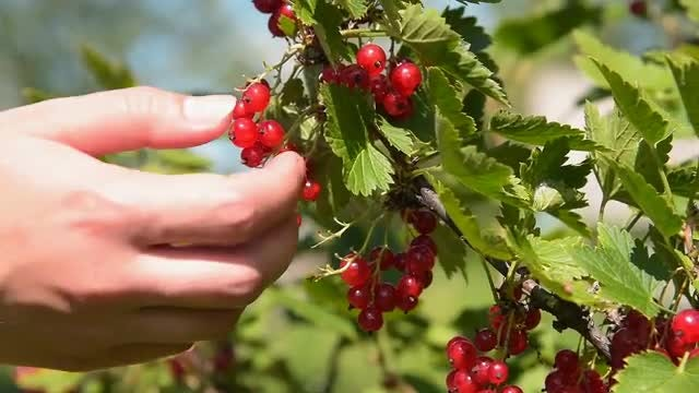 Farmer Harvesting Redcurrant Fruits: Stock Video