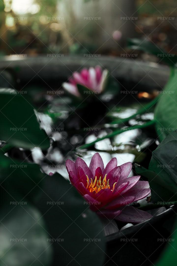 Pink Water Lilies: Stock Photos