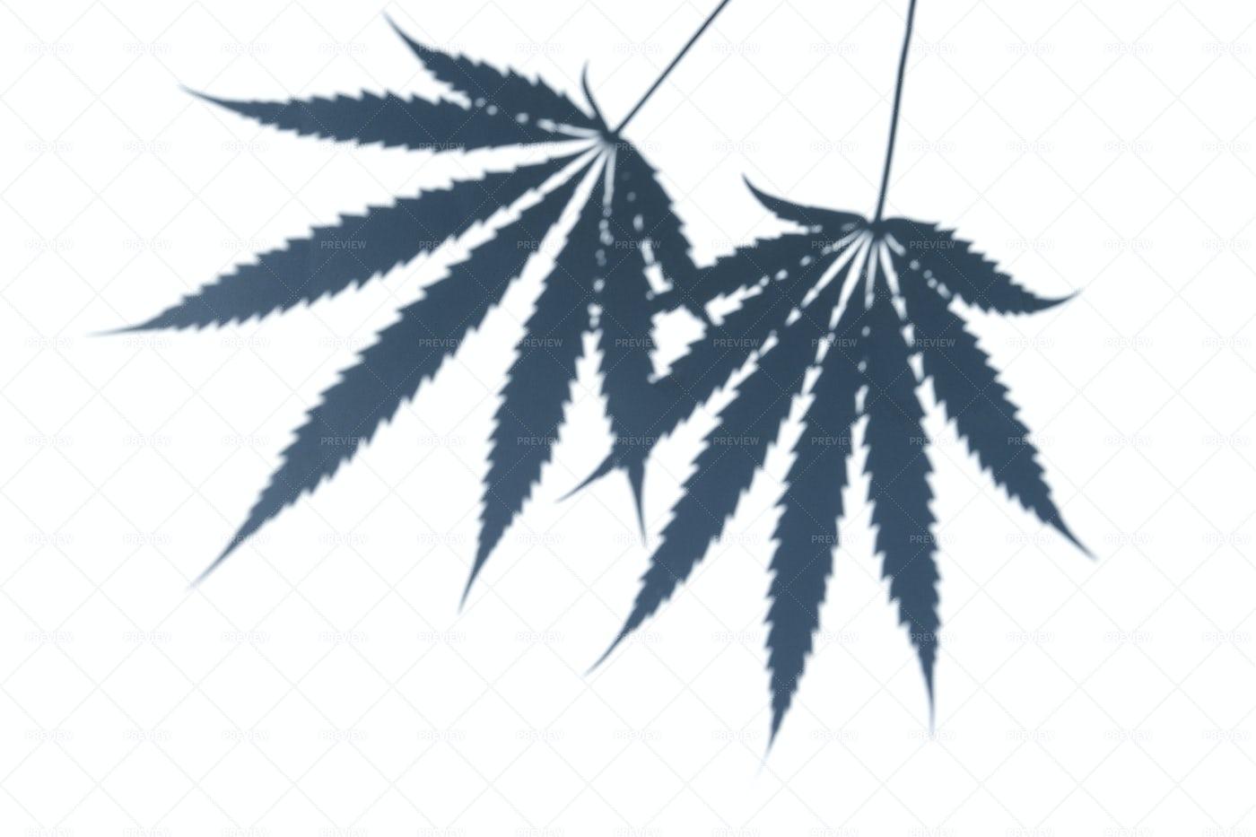 Marijuana Leaves: Stock Photos