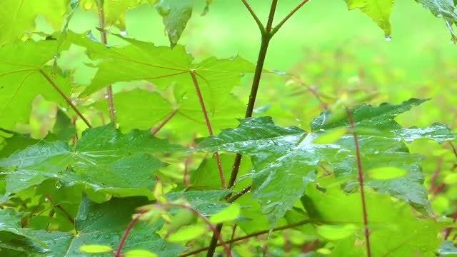 Raindrops on Green Leaves: Stock Video