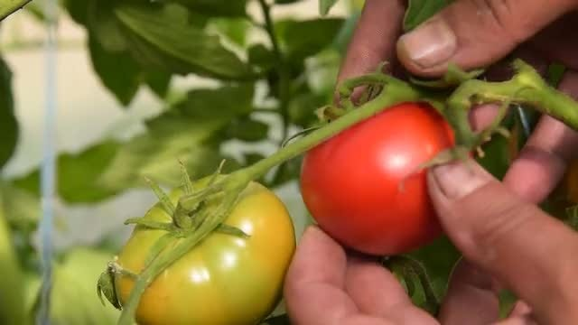 Male Farmer Harvesting Tomatoes: Stock Video