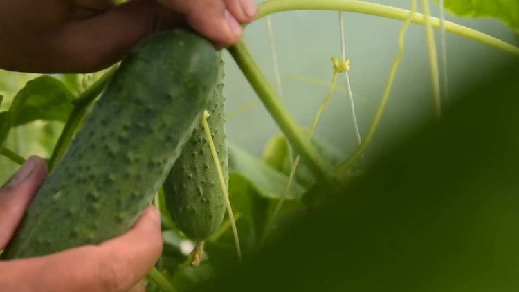 Male Farmer Harvesting Cucumbers: Stock Video