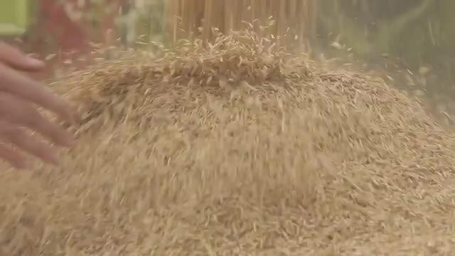 Pouring Grain: Stock Video