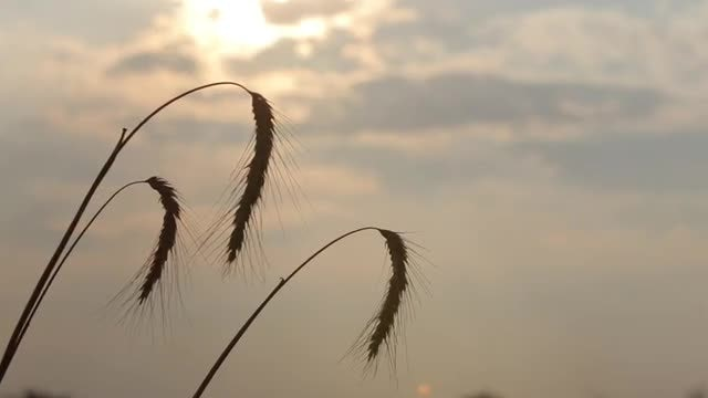 Dry Wheat Ears At Sunset: Stock Video