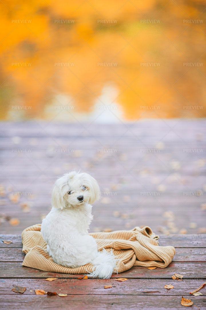 White Dog Maltese In Park: Stock Photos