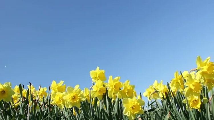 Dandelion Flowers In Springtime : Stock Video