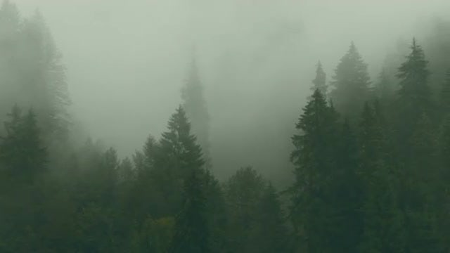 Large Pine Forest With Mist : Stock Video