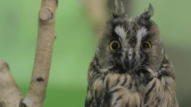 Owl Staring At The Camera: Stock Video