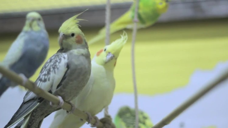 Cockatoos Sitting On A Branch: Stock Video
