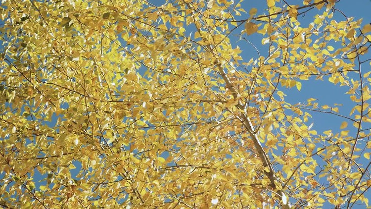 Fall Foliage Against Blue Sky: Stock Video