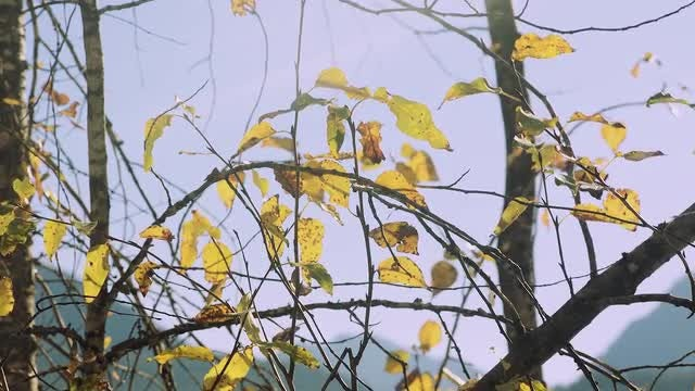 Colored Fall Leaves On Branches: Stock Video