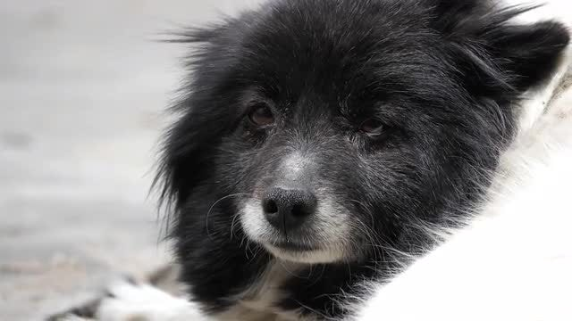 Black And White Dog Lying Down: Stock Video