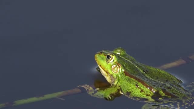 Frog: Stock Video