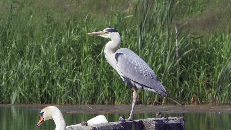 Grey Heron: Stock Video