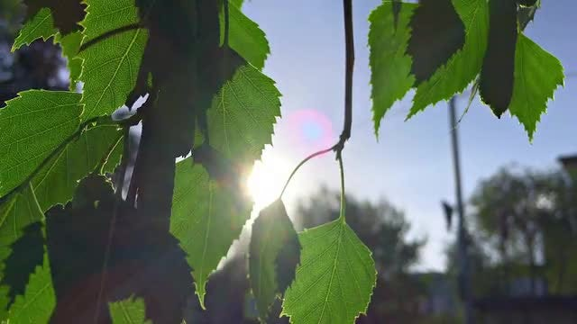 Tree Leaves In The Sun: Stock Video