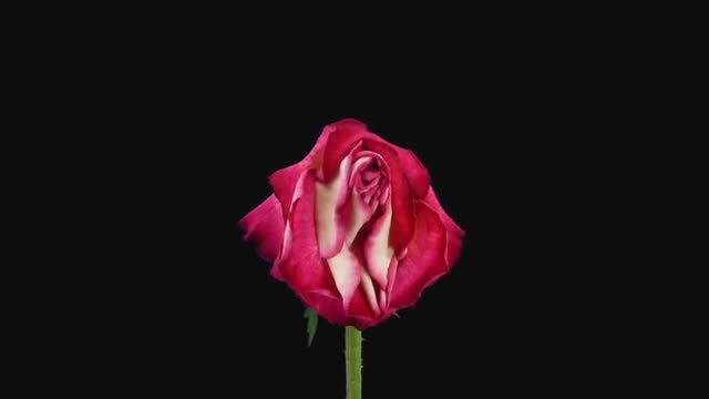 Dying Red-White Shanti Rose: Stock Video