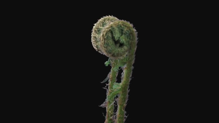 Fern Plant Unrolling New Fronds: Stock Video