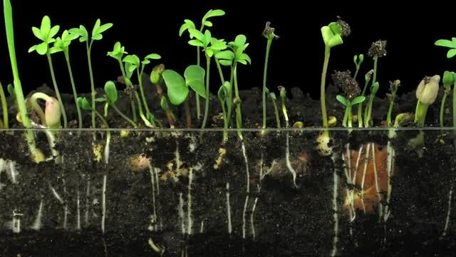 Time Lapse Of Germinating Vegetables : Stock Video