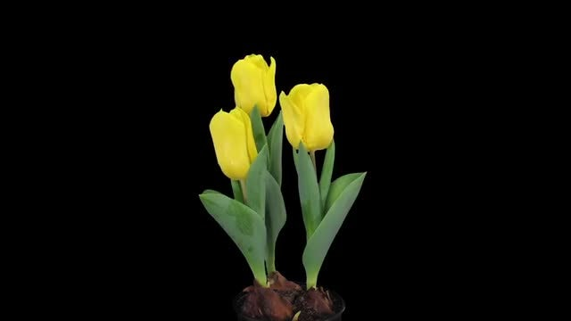 Tulip Grows Out Of Dirt: Stock Video
