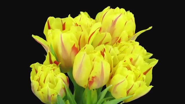 Yellow-Red Tulips Grow In Vase: Stock Video