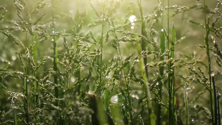 Morning Dewdrops On Green Grass: Stock Video