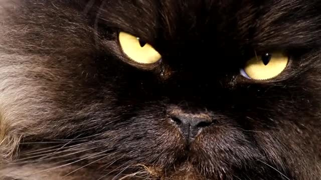 Close-up Of Sleepy Black Cat: Stock Video