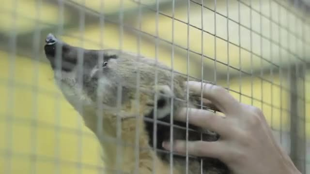 Man Scratching A Raccoon : Stock Video