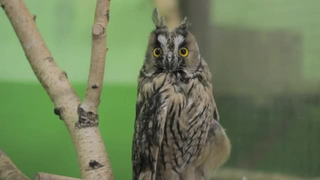Owl Resting On Tree Branch: Stock Video