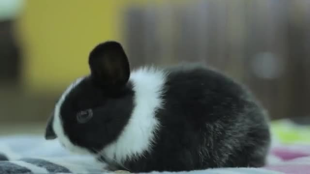 Black And White Baby Bunny : Stock Video