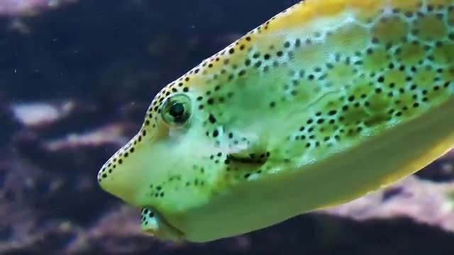 Spotted Trunkfish In Aquarium: Stock Video