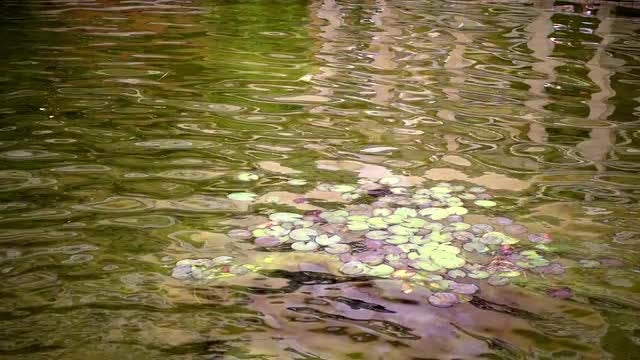Green Lake With Leaves: Stock Video
