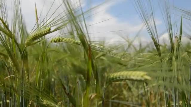 Wheat Swaying In The Field : Stock Video