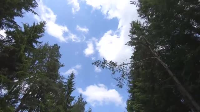Low-angle Shot Of Pine Trees : Stock Video