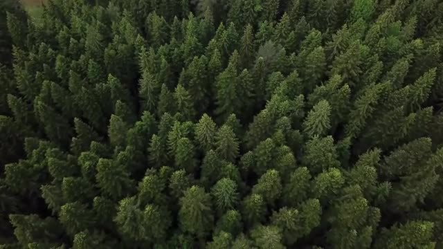 Aerial View Of Pine Forest: Stock Video