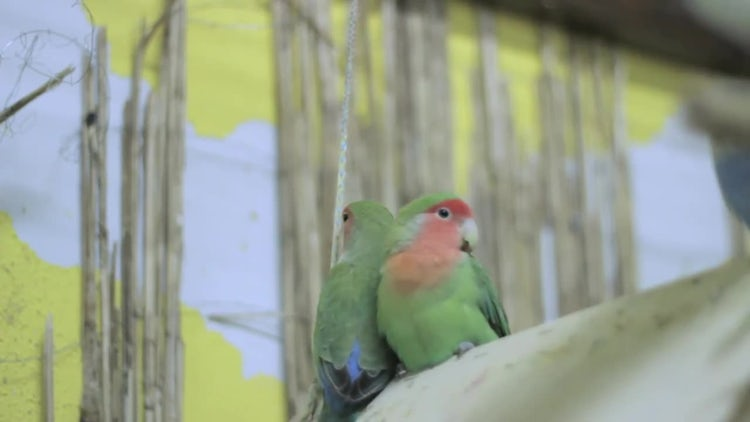 Two Parrots Swinging On Perch: Stock Video