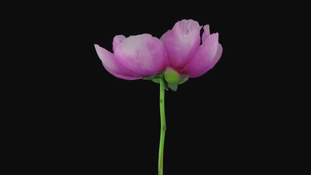 Red Peony: Stock Video