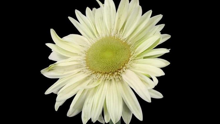 White Gerbera Flower Opening: Stock Video