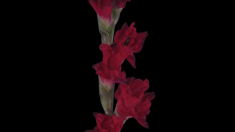 Red Gladiolus Flower Opening: Stock Video