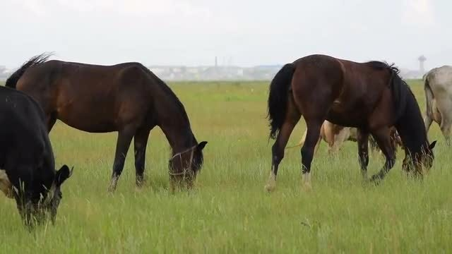 Dairy Cows And Horses Grazing: Stock Video